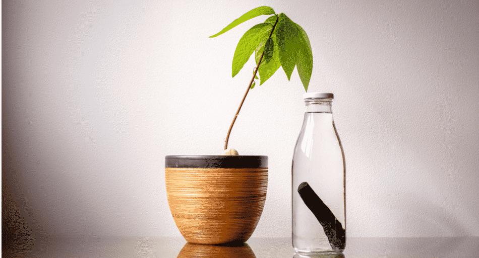 Botella de cristal al lado de una planta de aguacate
